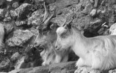 Sicilian goats