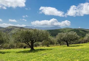 L'ORO DELLE MADONIE – LIQUID GOLD FROM THE MADONIE