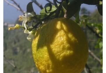 14 ways to use Sicilian Lemons