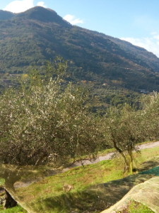 A humble Sicilian olive harvest