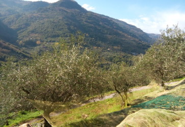 A humble Sicilian olive harvest